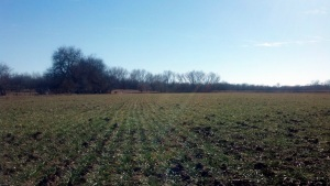 Winter Wheat Field, January 2013