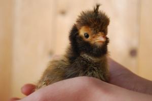Grumpy chick